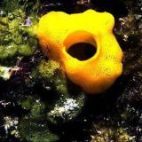 The yellow calcareous sponge, Leucosolena canariensis.