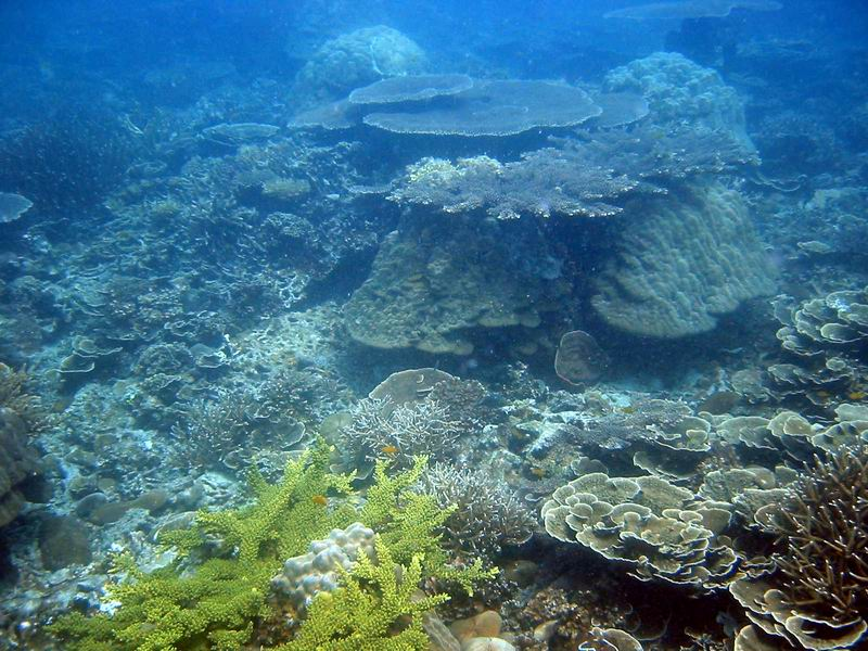 Healthy coral cover at CCC's survey site