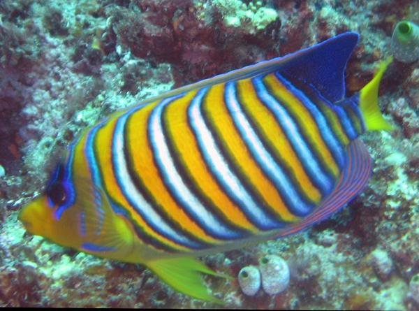 Angel Fish, Pygoplites diacanthus