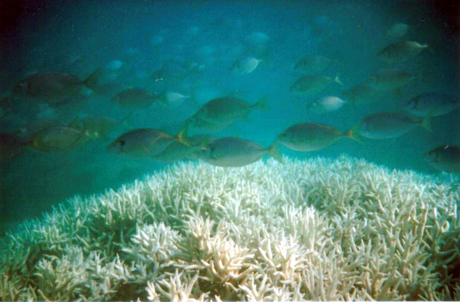 School of rabbitfish (Siganus sp.) foraging above bleached branching coral (Acropora sp.)
