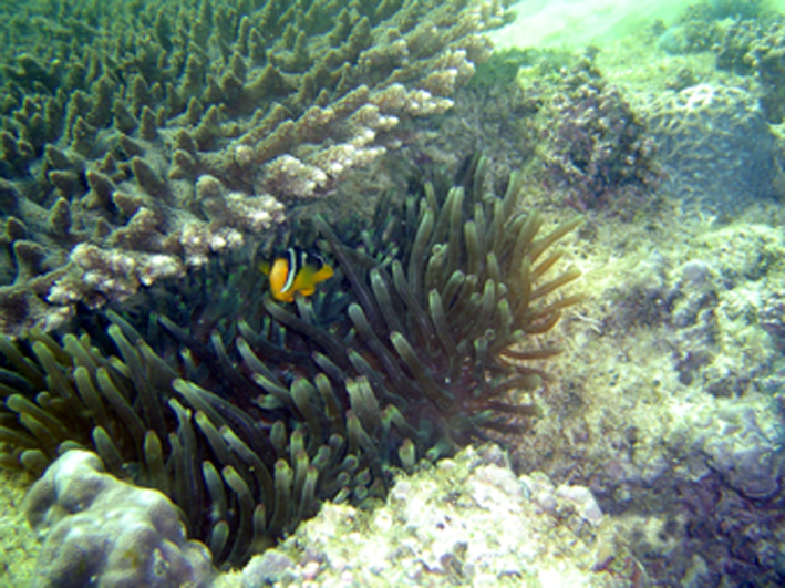 Anemonefish (Amphiprion sp.) and table coral (Acropora sp.)