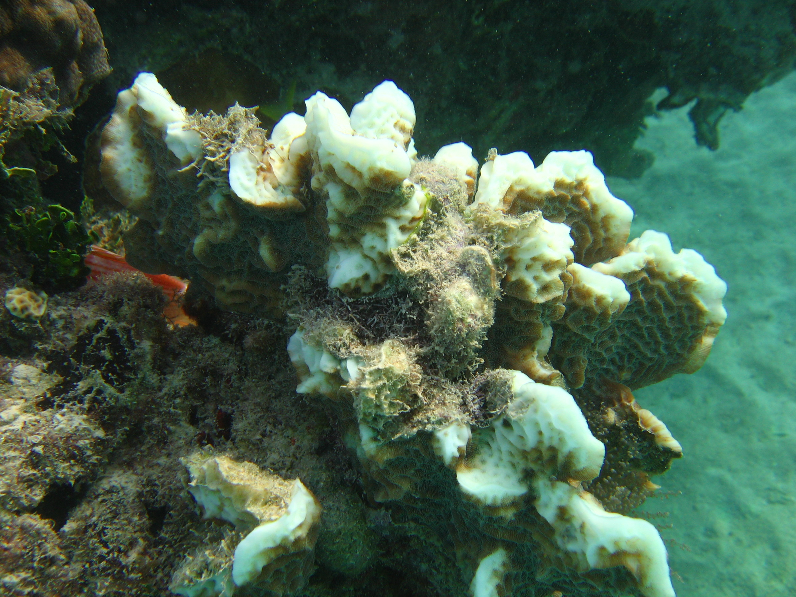A partially bleached colony of Undaria agaricites at approx. 15 feet