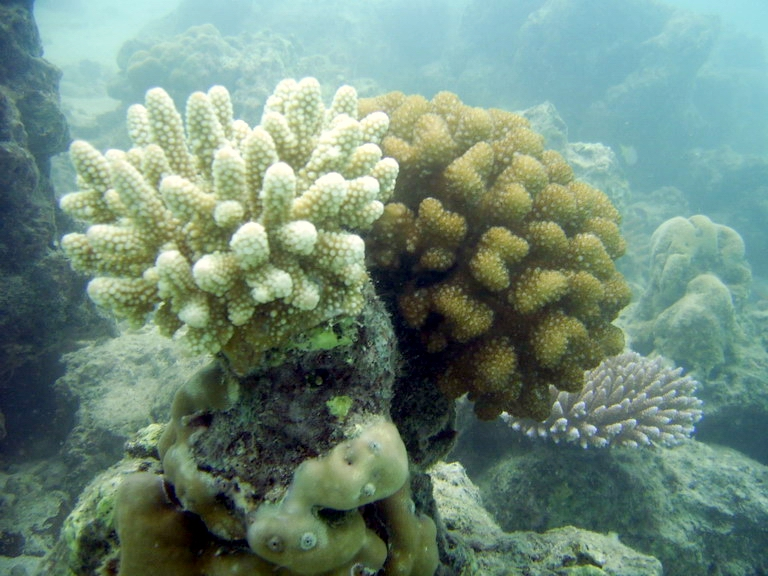 A few living corals in Bawa Island. 9 months post 28 March 2005 earth quake.
