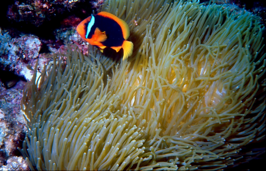 Amphiprion frenatus in E. quadricolor.