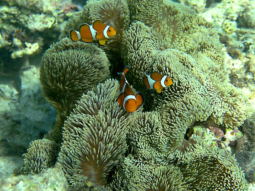 Amphiprion ocellaris in S. gigantea