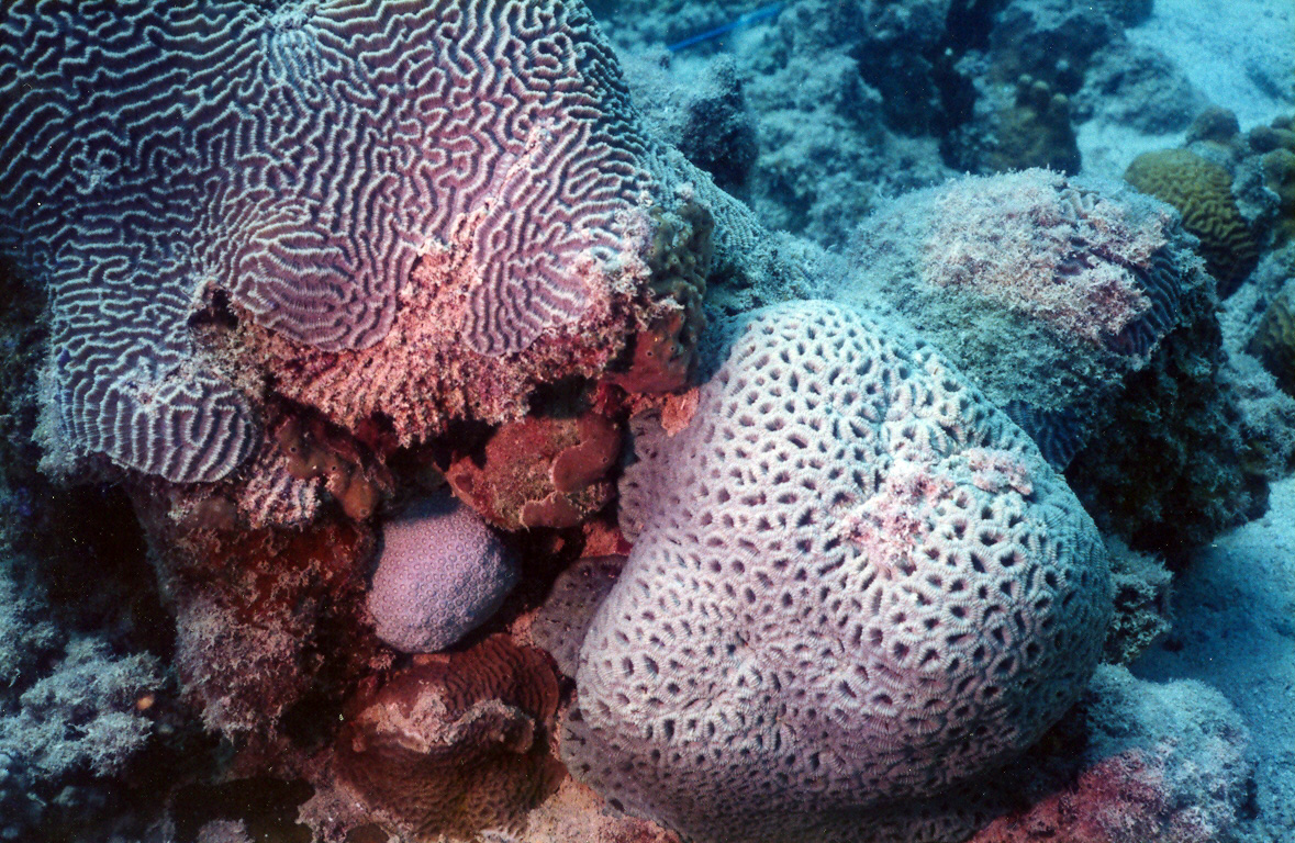 Encrusting meandroid and submassive phaceloid corals