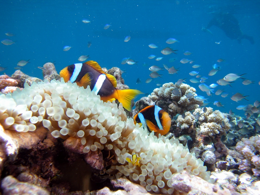 Anemonefish (Amphiprion clarkii)