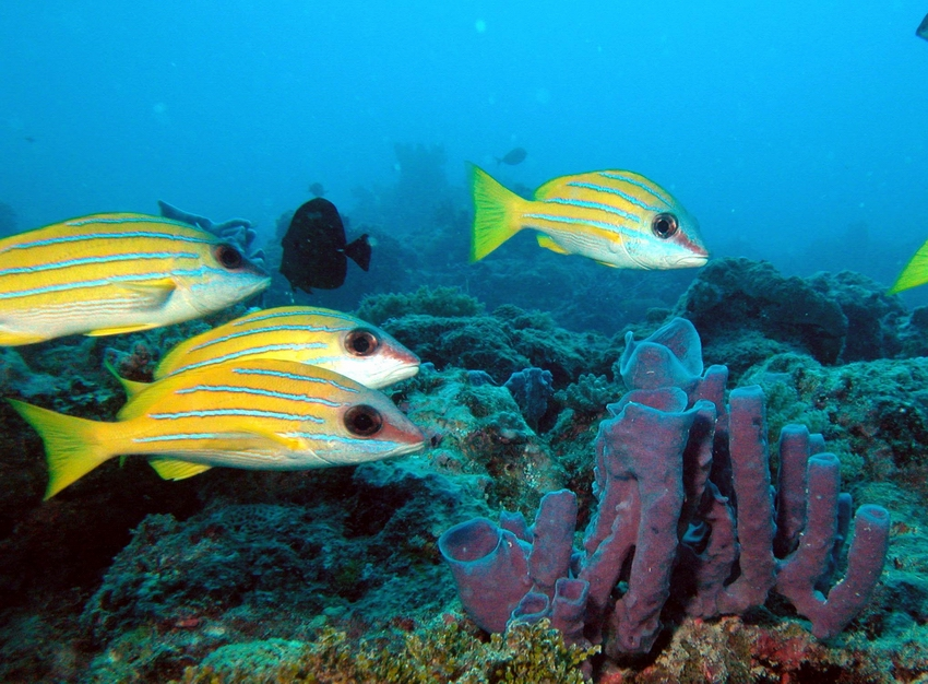 A small school of bluestripe snapper (Lutjanus kasmira)