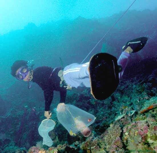 Young boys with net, catch bag, and squirt bottle with cyanide, used for immobilizing uncooperative fish in about 70 feet of water, breathing from a tube held in the corner of his mouth.  