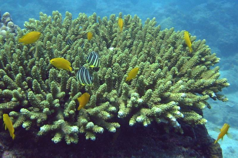 Damsel fish (Pomacentridae) and butterfly fish (Chaetodontidae)
