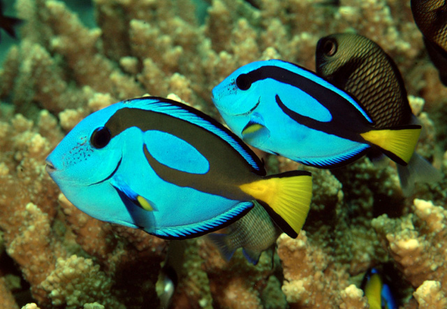 "Young bluetangs or palette surgeonfish, or Dory in ""Looking for Nemo"""