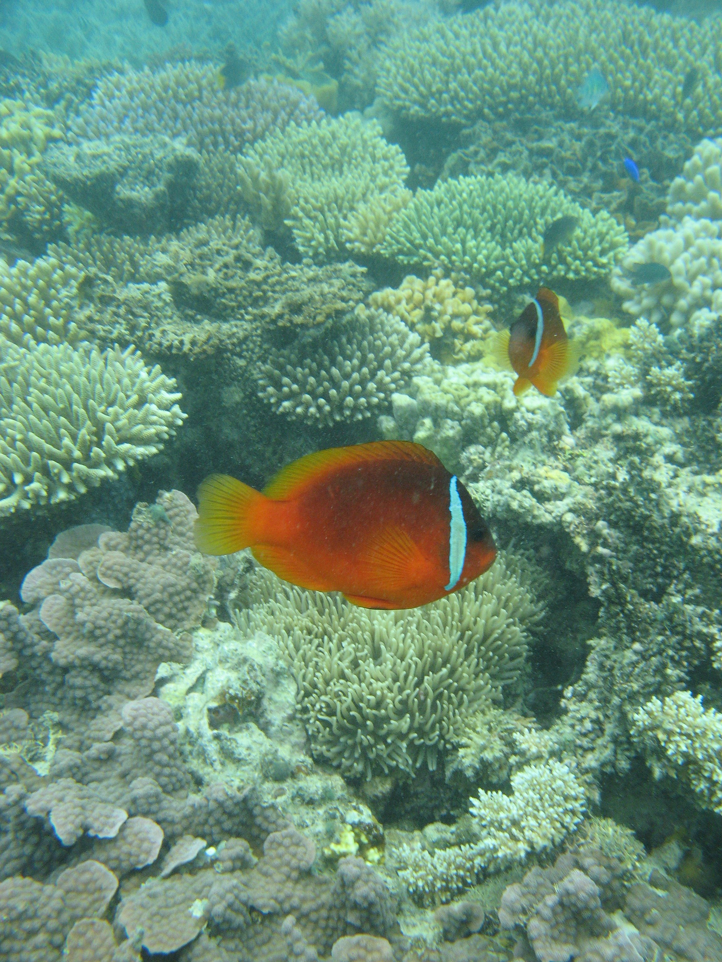 Fiji tomato anemonefish(Amphiprion sp.)