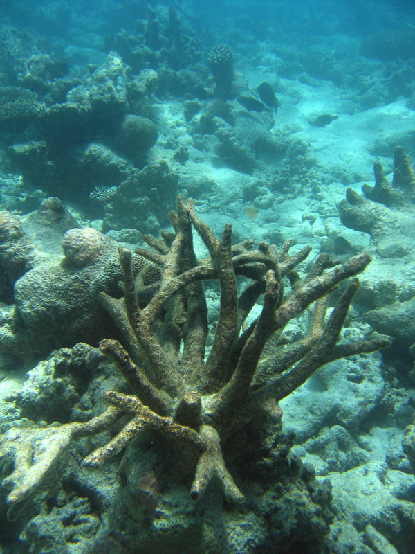 Dead coral - probably from 1998 bleaching event