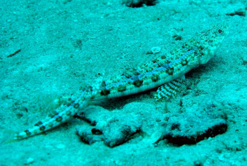 A pair of lizardfish (Synodus sp.) resting on sandy botom