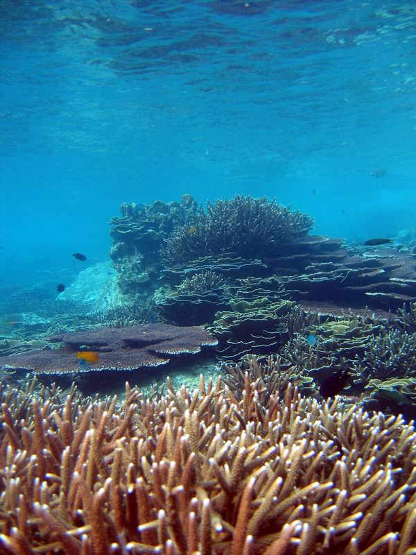 Reef flat with branching and table coral (Acropora sp.)