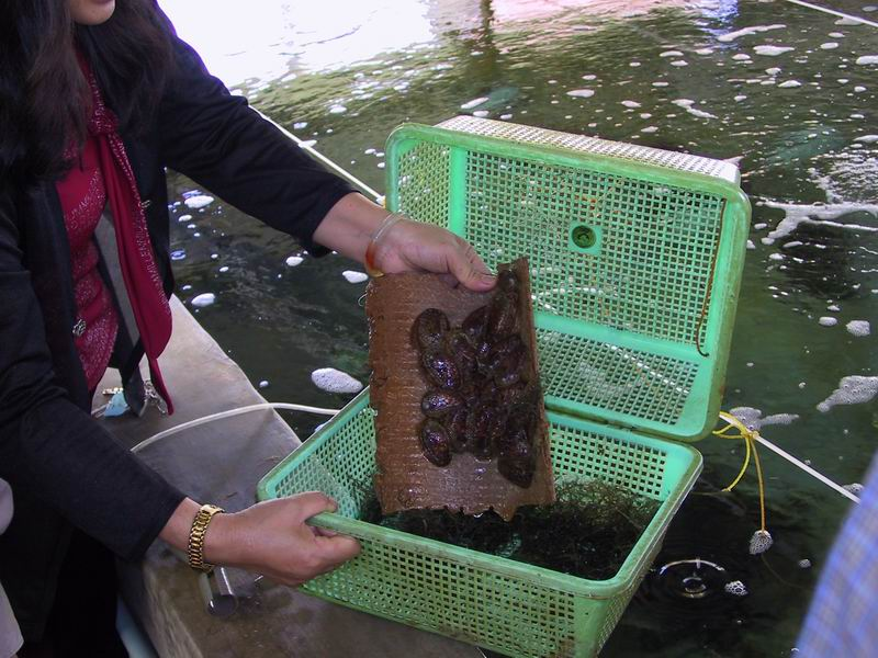 Abalone aquaculture at Regional Institute for Aquaculture Number 3