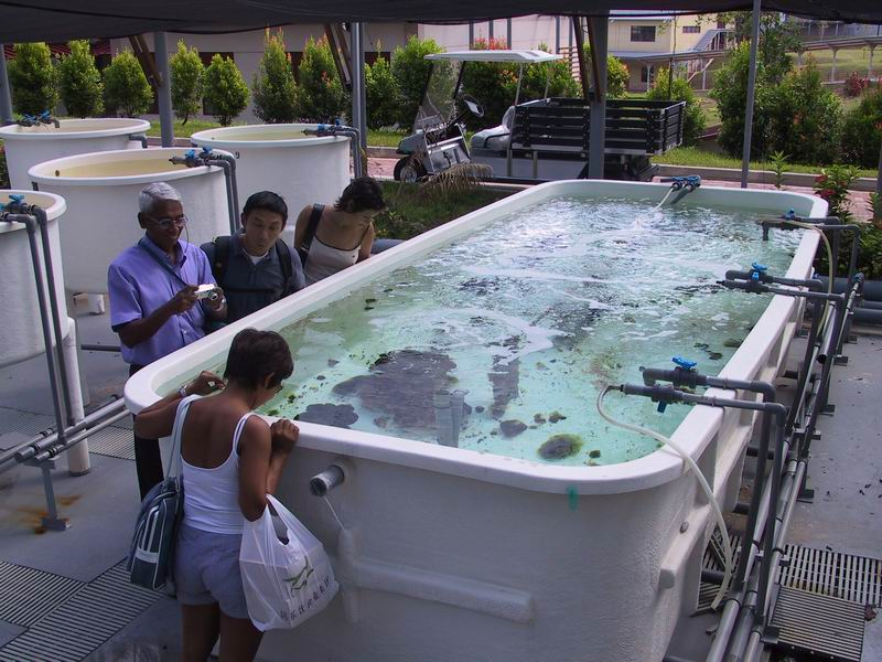 Aquacultrure research facility at Tropical Marine Science Institute. Giant clam tank.