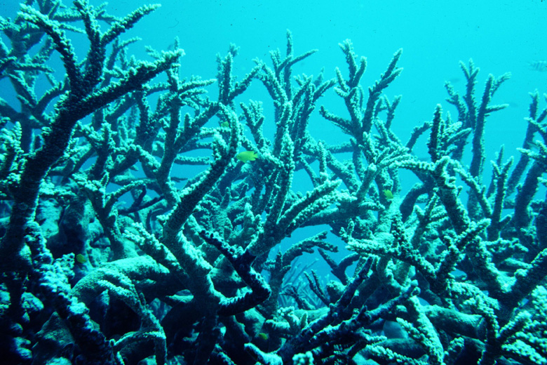 Acropora florida thicket
