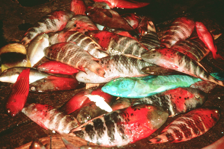 Fish for sale at local market -wrasse (Chelinius fasciatus) and others