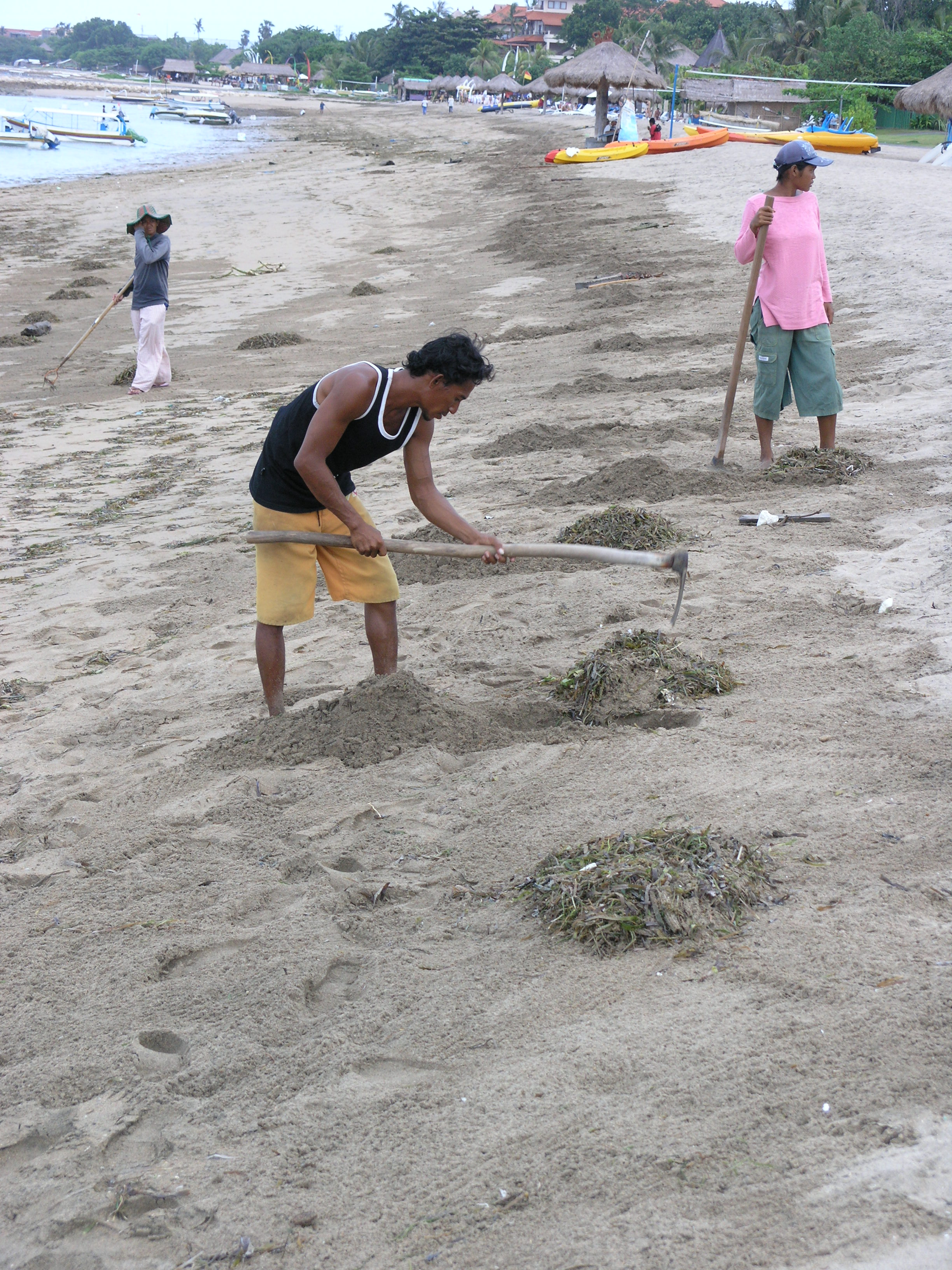 Balinese local resort workers burying the washed up seagrasses under the sand at the beach