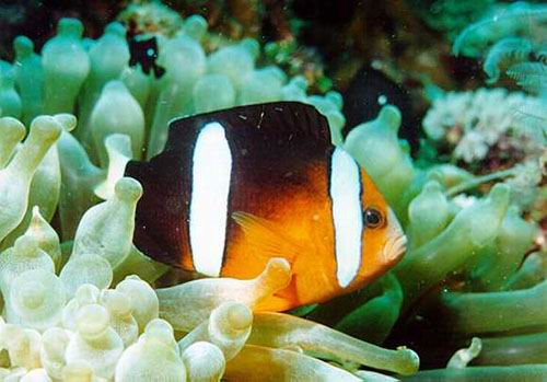 Amphiprion clarkii. Clownfishes live in close association with large sea anemones.