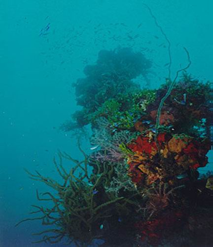 An assemblage of corals and sponges colonizing the mast of the Kansho Maru in Chuuk Lagoon.