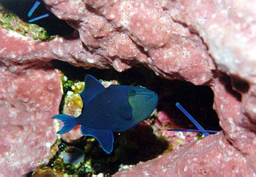 A sub-adult redtooth triggerfish (Odonus niger). Tail lobes of adults stick out from coralline algae encrusted crevices.