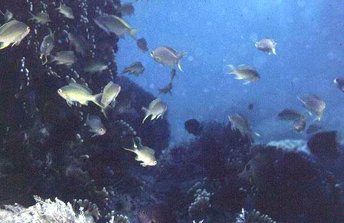 Anthiines are common on the outer reef slopes where they feed on plankton.
