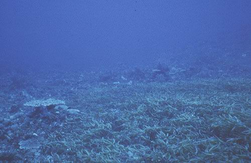 Dense growth of the seagrass Thalassodendron ciliatum growing at 22 m.