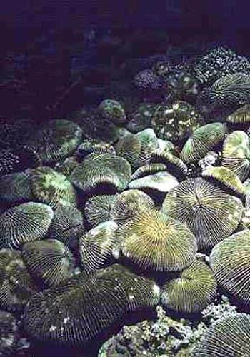 Assemblage of mushroom corals on the fore slope.
