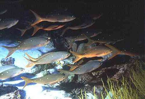 A school of creole fish (Paranthias colonus) at Floreara, Champion Island.