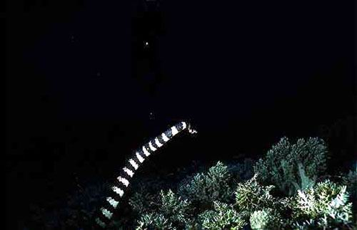 A sea snake, commonly encountered at Cervera Shoal, swims over a soft coral dominated reef.