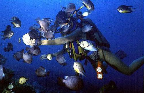 Fish feeding has become a popular activity on reefs adjacent resorts.