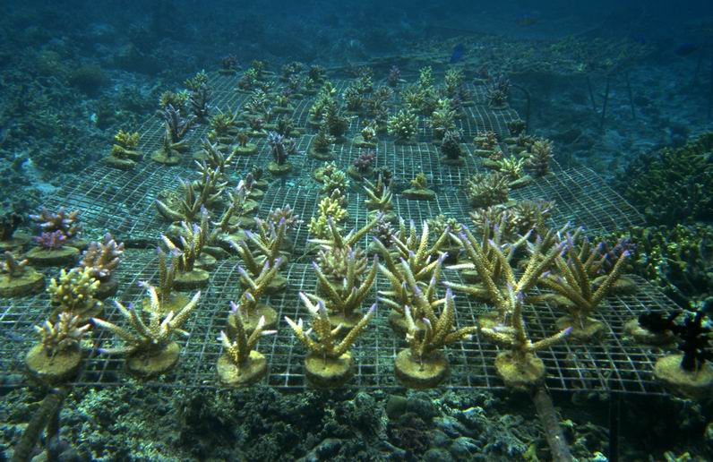 Farmed coral growing on wire bases - 2