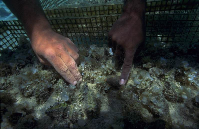 Giant clam nursery cage husbandry