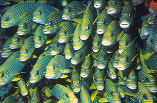 Dense aggregation of sweetlips at Cape Kri.