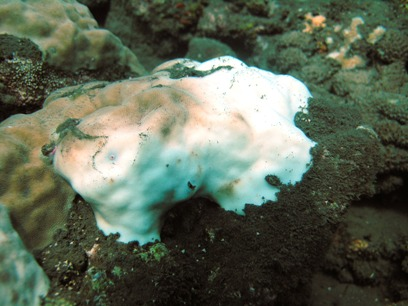 Partially bleached coral in Tejakula, Bali