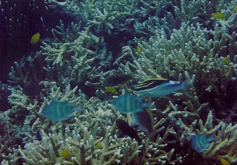 Damselfish (Amblyglyphidodon coelestis) and and extensive Acropora thickets.