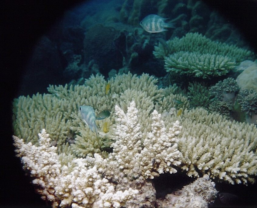 Amblyglyphidodon coelestis and branching Acropora