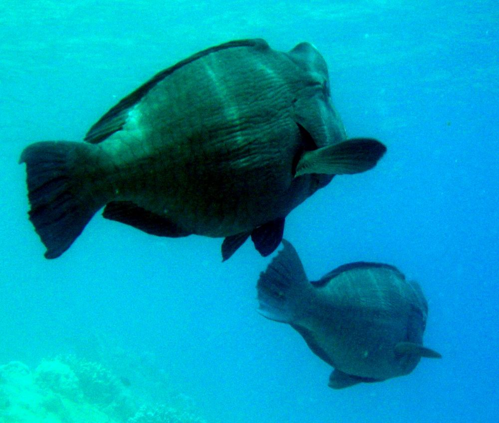 A pair of bumphead parrotfish (Bolbometopon muricatum) grazing on substrate