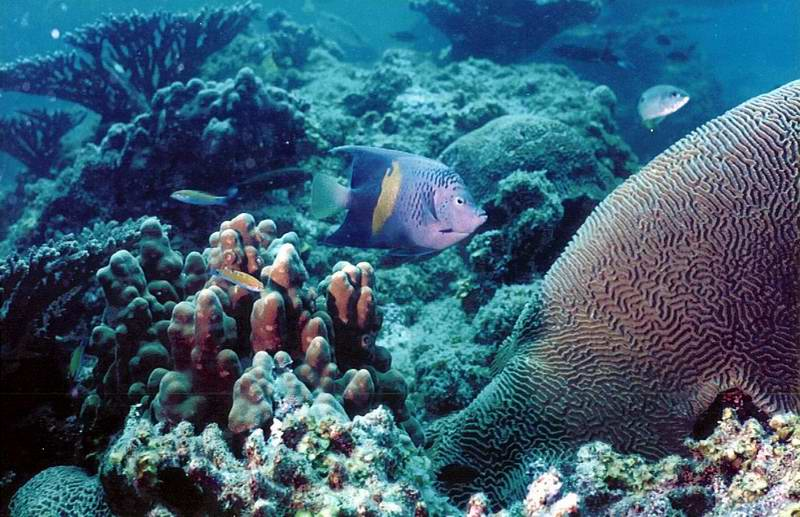 Arabian angelfish (Pomacanthus maculosus) and massive coral