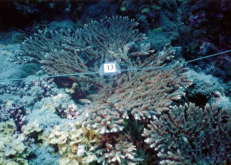 Acropora and transect line for coral reef monitoring