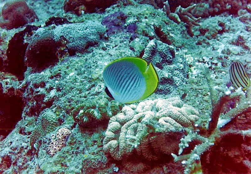 One of the bioindicator species  butterflyfish, Chaetodon adiergastos.