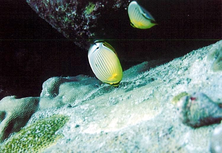 One of the bioindicator species redfin butterflyfish, Chaetodon trifasciatus, feeding