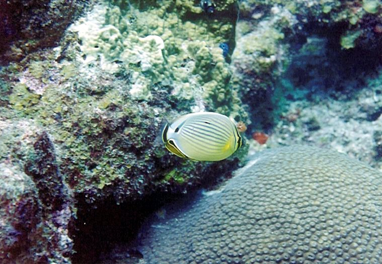 One of the target species redfin butterflyfish, Chaetodon trifasciatus
