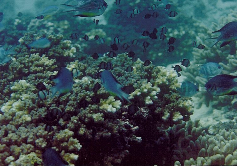 Damselfish (Dascyllus reticulatus) using Pocillopora as shelters