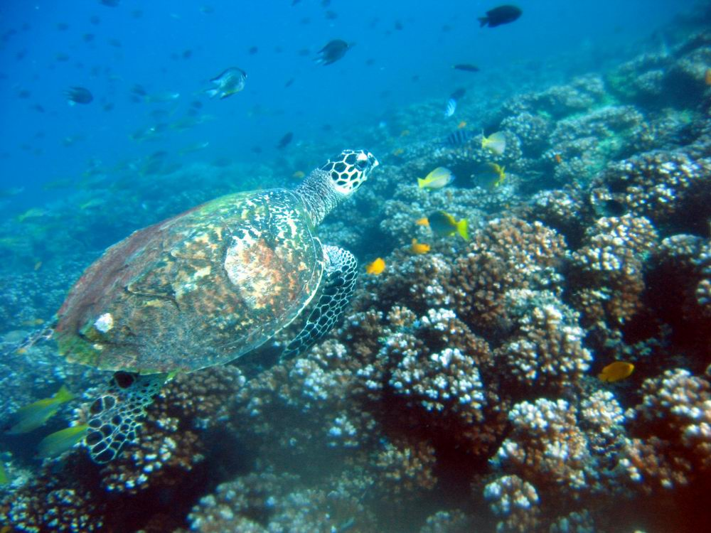 Hawksbill turtle ( Eretmochelys imbricata) roaming above reef crest