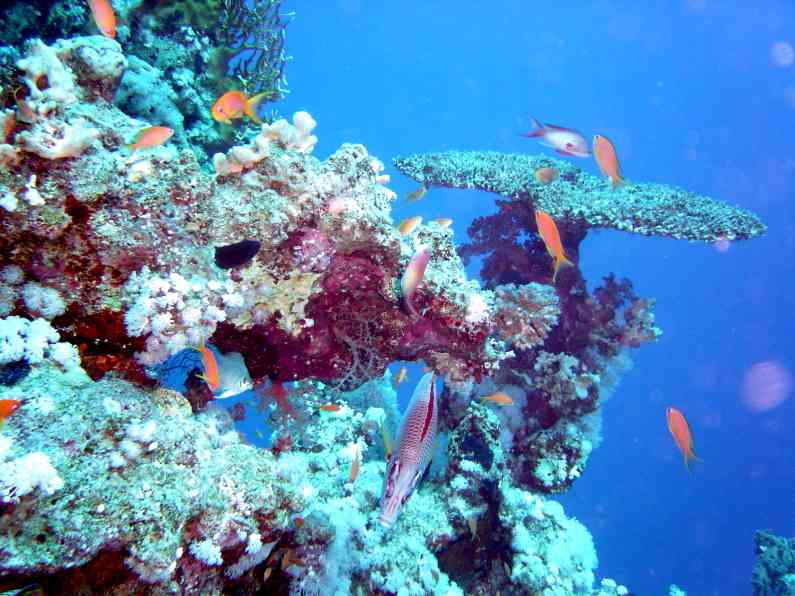 Healthy coral in Red Sea in Sharlm El Shake Egybt