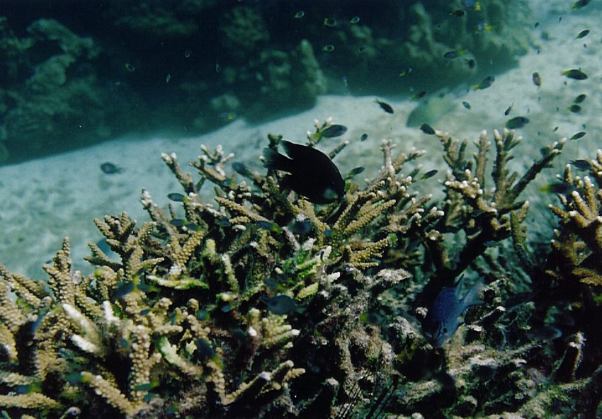 Damselfishes hiding inside Acropora patch which survive 1998 bleaching event