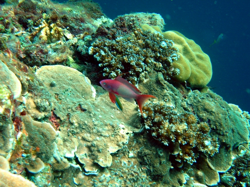 Anthias Pseudanthias squamipinnis and mixed species of corals